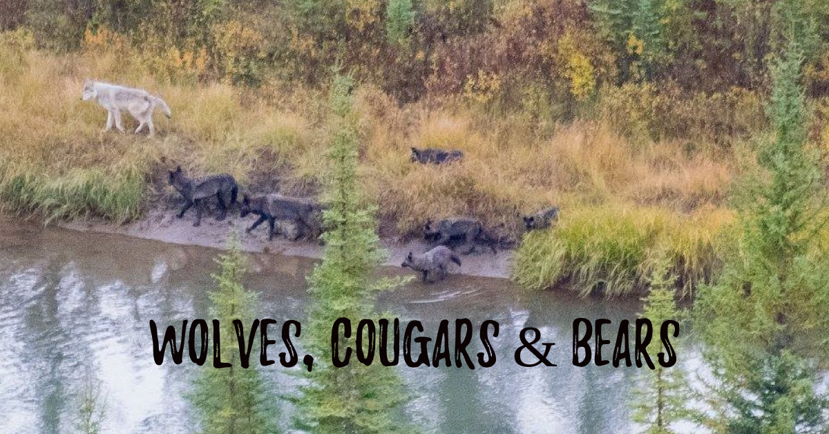 wolves cougars bears